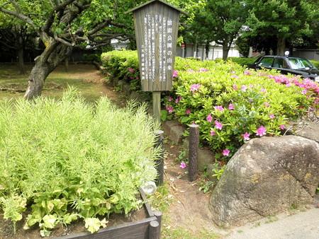 油面公園-01つつじ・時季外れの菜の花