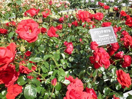 神代植物公園_ばら園-06グランド・ホテル