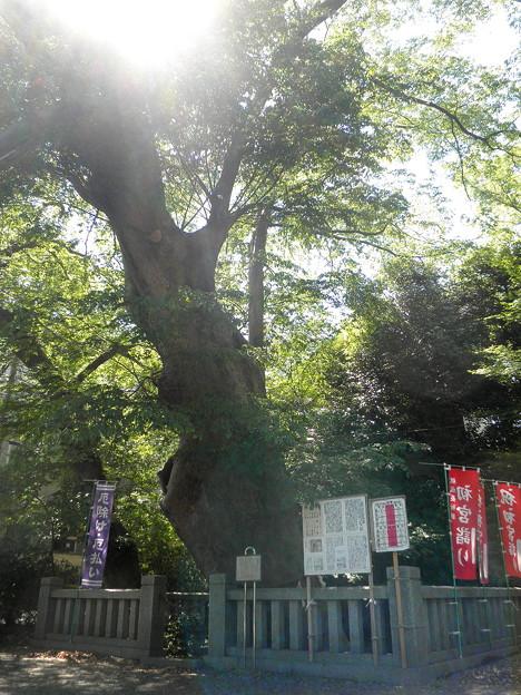 青渭神社(あおいじんじゃ)-02ケヤキ(樹齢ab700年)b