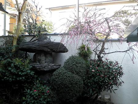 西照寺-03枝垂れ梅