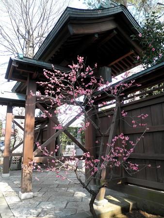 壽福寺-03f山門_f紅梅(門の表は赤椿)