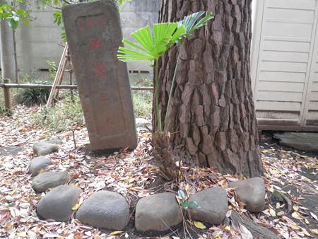 駒繋神社-11駒繋の松(3代目)