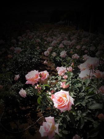 薔薇の言葉c