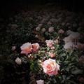 Photos: 薔薇の言葉c