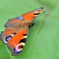 Photos: 季節外れの孔雀蝶
