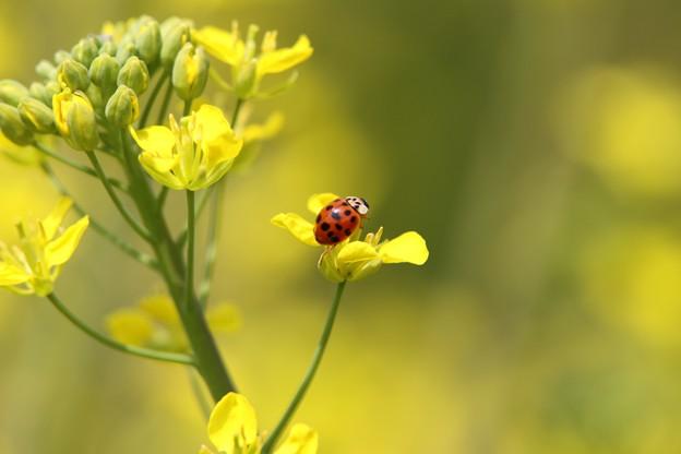 菜の花と天道虫