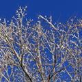 青空に咲いた雪花