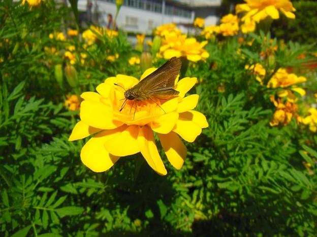 岡野公園 セセリと花♪