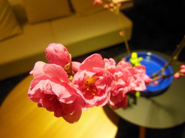 紅梅の活花♪