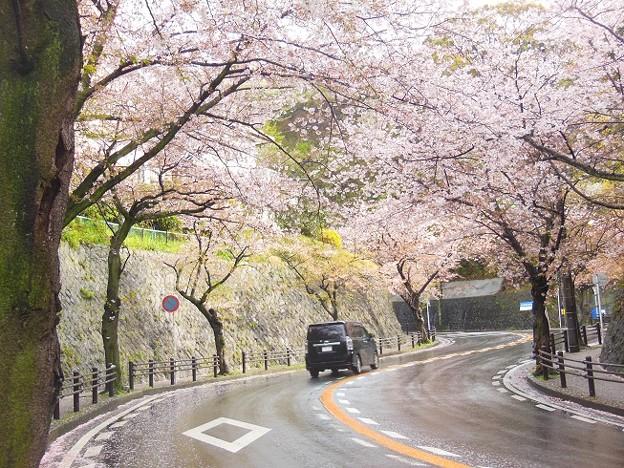 写真: 桜トンネル~逗子市