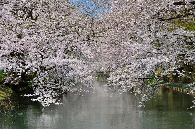 弘前公園・桜の頃  (10)