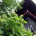 Photos: 雨のあじさい寺