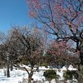Photos: 梅は咲けども・・