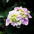 写真: 紫陽花・モナリザ