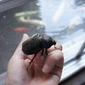 Photos: 裏庭でカブトムシをゲットニャ。