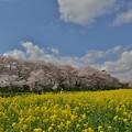 Photos: 散り始めた権現堂の桜-1