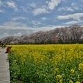 Photos: 散り始めた権現堂の桜-2