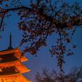 Photos: 五重塔と桜(夜)