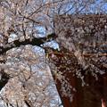 Photos: 桜風