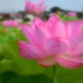 Photos: 大賀ハス