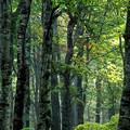 初秋のブナ林