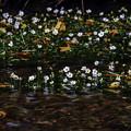 渓流に咲くバイカモ