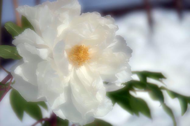 白い寒牡丹