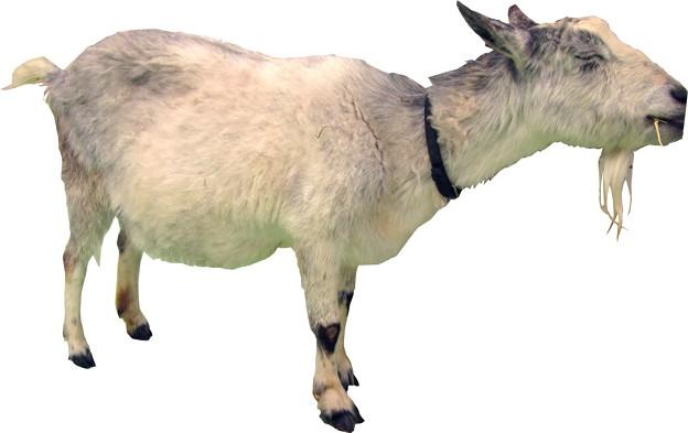 山羊縮小用5