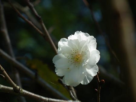 十月桜 DSCF0236