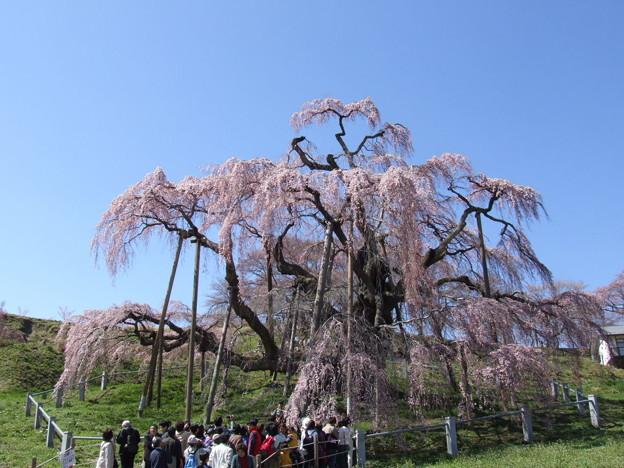 0015 三春滝桜