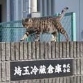 Photos: 或る会社のキジトラさん
