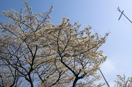 神明宮の桜