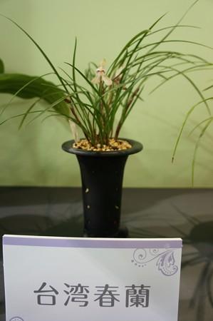 台湾春蘭(タイワンシュンラン)