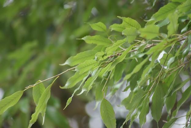 裏白樫(ウラジロガシ)