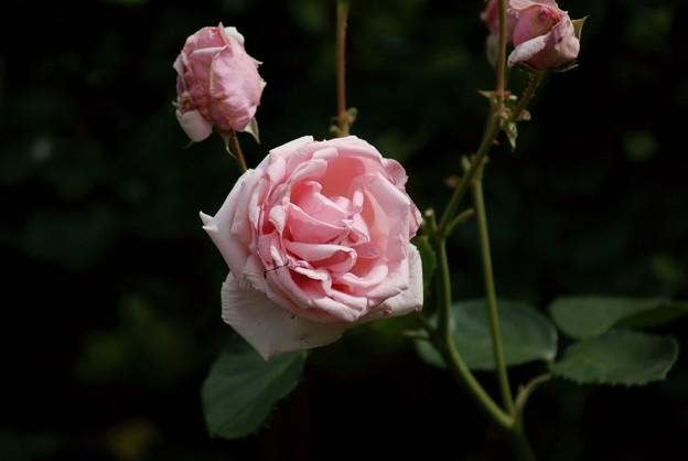 薔薇 紫香