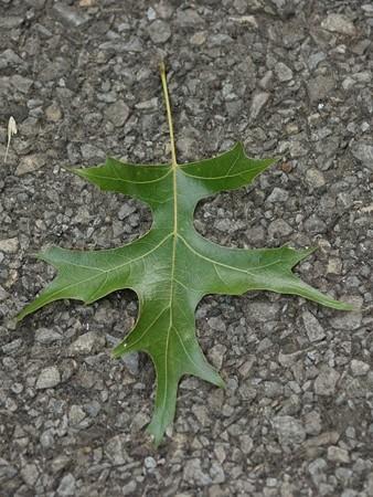 アメリカガシワ 葉は不規則に5~9深裂する