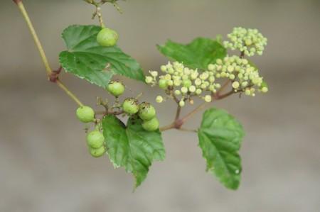 照葉野葡萄(テリハノブドウ)