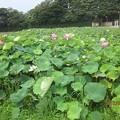 Photos: 蓮(ハス)畑