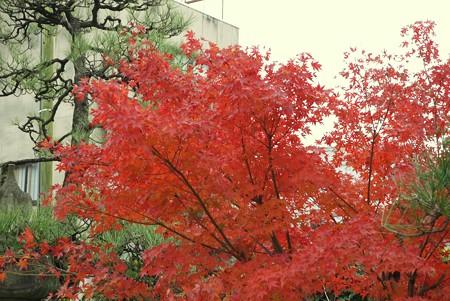 京都初紅葉