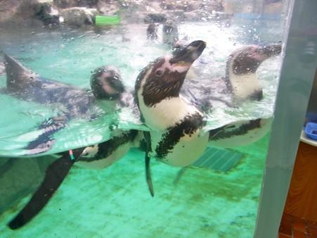 20120715 松島 ペンギンプール04