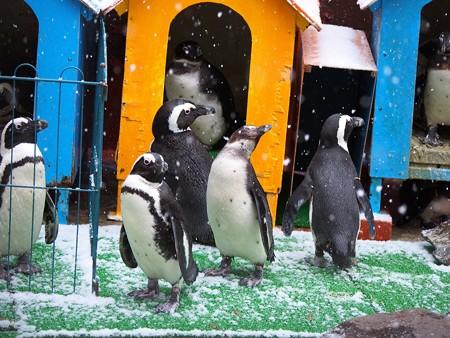 20121224 東北 雪のケープペンギン舎