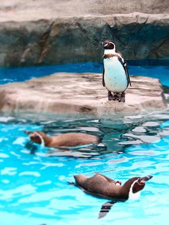 20121222 日本平 ペンギンプール07