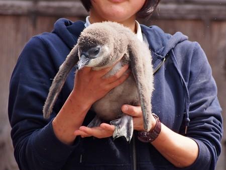 20130224 掛川 2月生まれヒナちゃん03