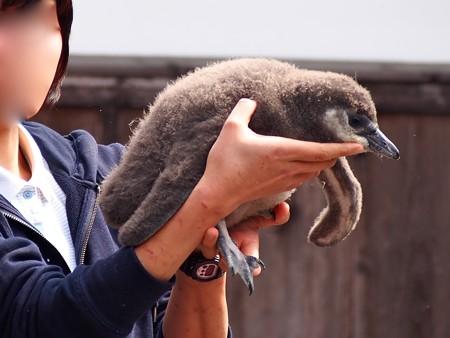 20130224 掛川 2月生まれヒナちゃん02