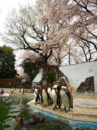 20130330 羽村 桜フンボ05