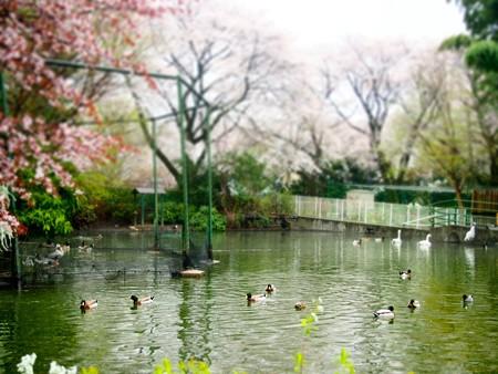 20130330 羽村 桜はむら02