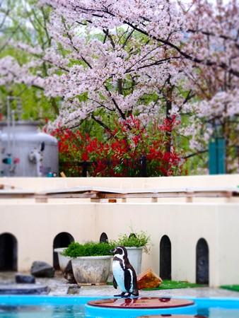 20130406 京都 桜のペンギンプール04