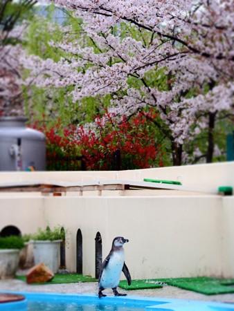 20130406 京都 桜とススキ04