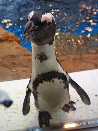 20130406 京都水 窓際のペンギン達09
