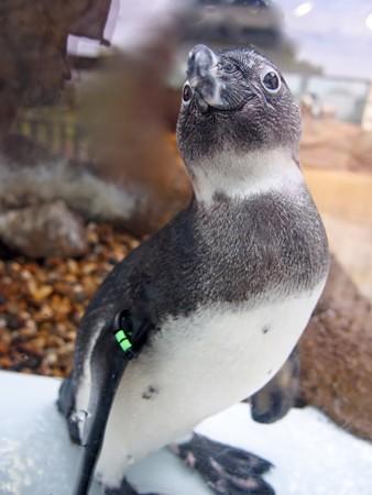 20130406 京都水 窓際のペンギン達01